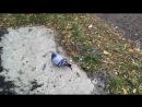 Борзый голубь.