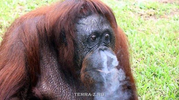 Курящая обезъяна.