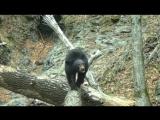 Лесные съемки: медведь продемонстрировал грациозную походку в приморском нацпарке
