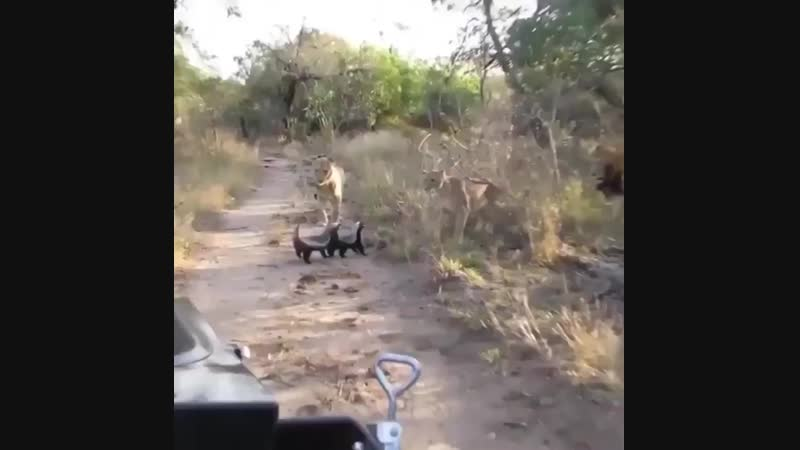 🔥 Honey badgers don't give a f*** 🔥