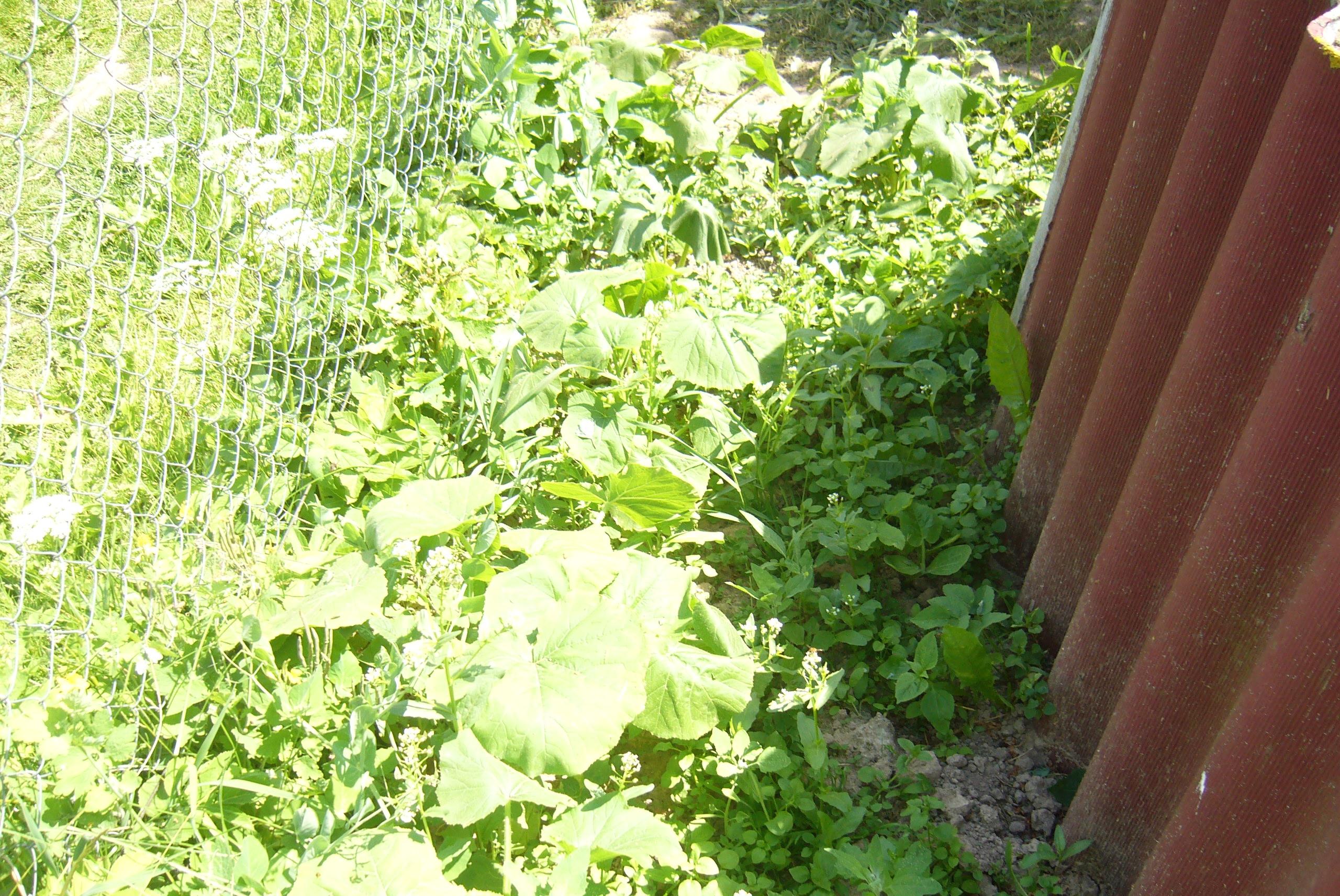 Как я неправильно посадила тыкву дача