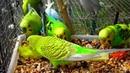 Budgies Parakeets Eating Celery Волнистых попугаев