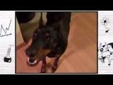 Экстаз смеха 151)) Собака собирается на дачу