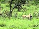 Львица атакует детёныша зебры