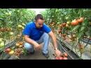 Технология выращивания томатов в теплицах