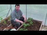 Применение Байкала ЭМ 1 при высадке рассады томатов