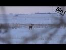 Vidmo_org_Olen_sbrasyvaet_roga_vo_vremya_pryzhkov_v_snegu_Mule_deer_buck_with_droptine_shedding_antlers_848.mp4
