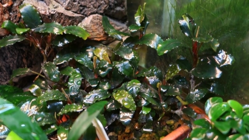 "Буцефаландра сп шайне блю"" Bucephalandra sp Shine Blue"""