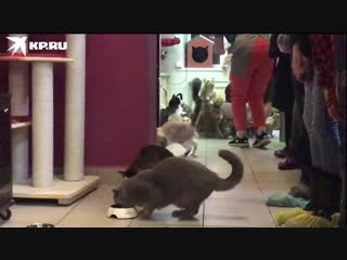 В Республике кошек открылась выставка Главный котик страны