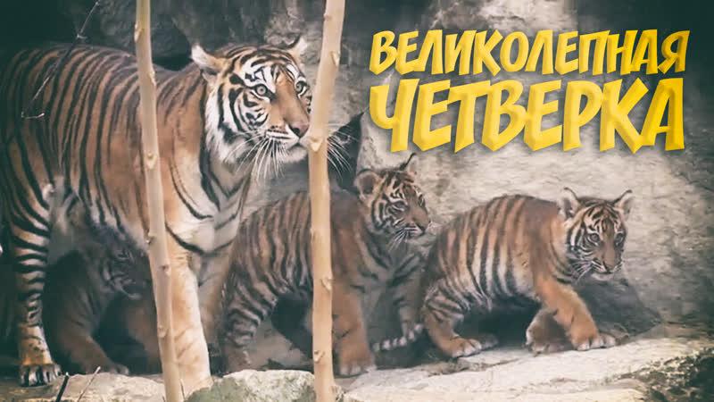 Суматранские тигрята родились в зоопарке Берлина