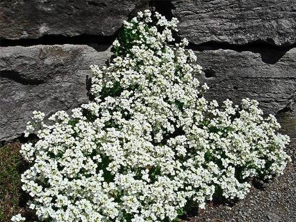 Из каких растений получится достойная «оправа» для цветника.