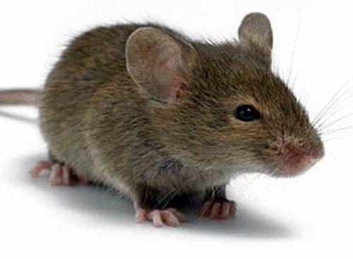 Наверное,многих волнует такой вопрос: как обезопасить себя от мышей на даче