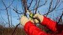 Обрезка груши Снижение кроны дерева