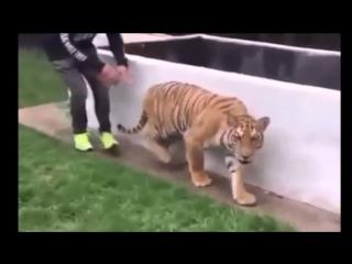 Парень тихо подкрался, чтобы напугать тигра
