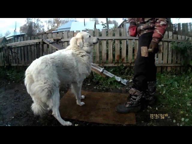 Аппортировка урок 8. Маремма-абруццкая овчарка Миф.