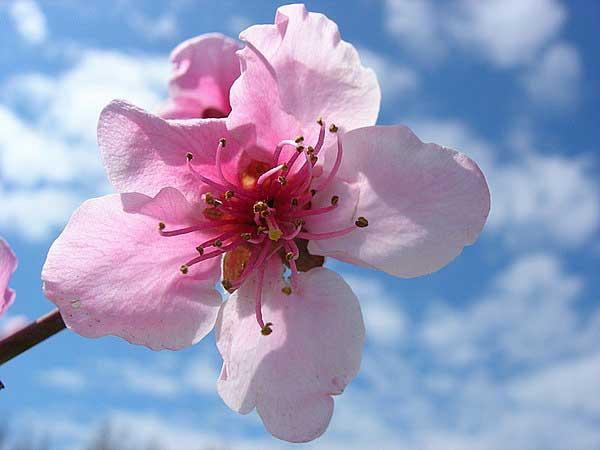 На востоке часто красоту девушки сравнивают с цветком персика!!!