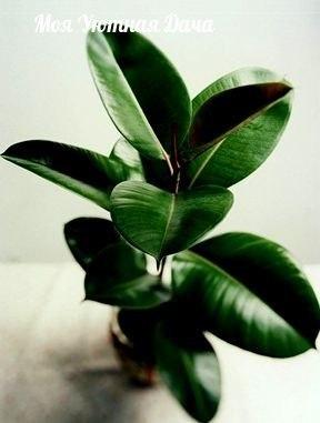 комнатные растения, которые очищают воздух в доме 1) сансевиерия («laurentii» sansevieria trifasciata) или, как называют ее в народе, тещин язык.это комнатное растение является одним из наиболее