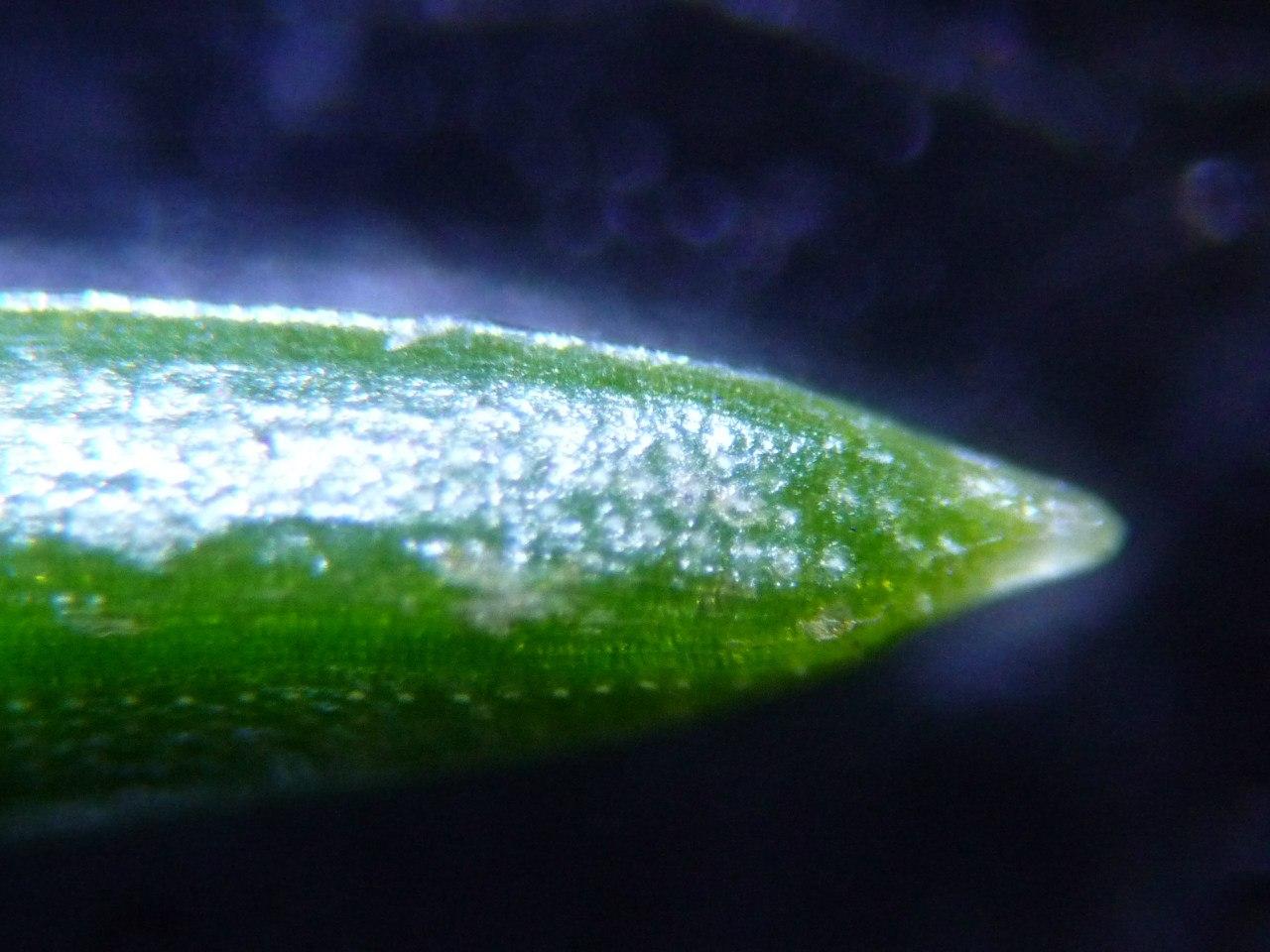 кончик еловой иголки под микроскопом
