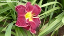 Цветение сортового лилейника BLOOD WINE в саду