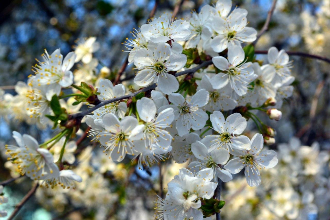 цветет вишня