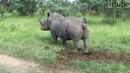 Носорог. Дефекация
