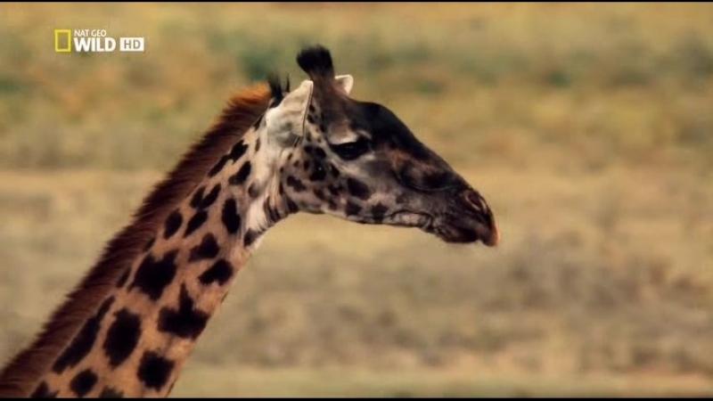 V.velikom.kraju.Serengeti.2011.XviD.HDTVRip.ExKinoRay