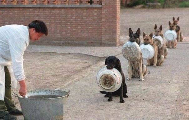 Полицейские собаки в Китае в очереди за обедом.