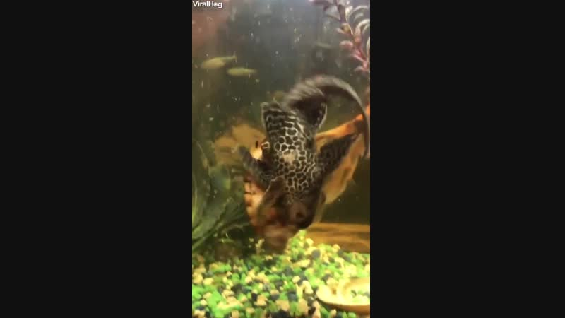 Turtle riding the back of a Plecostomus ( Algae eater).