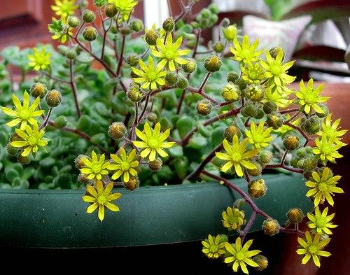Хойя Керри вариегатная фото растения и рекомендации по уходу