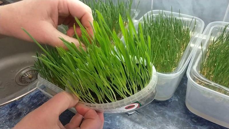 Проращиваем пшеницу | Микрозелень - маленький огород