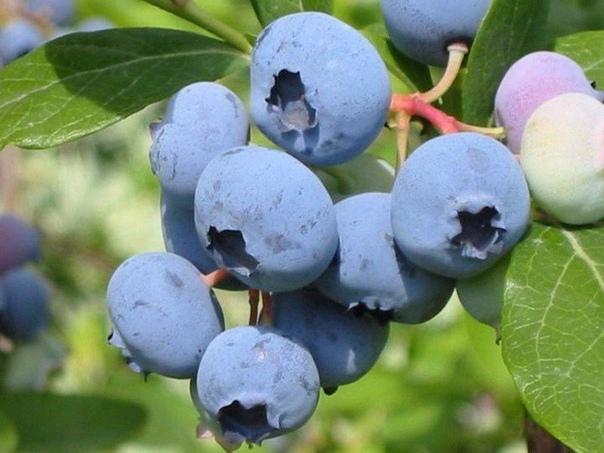 Голубика — кладезь витаминов