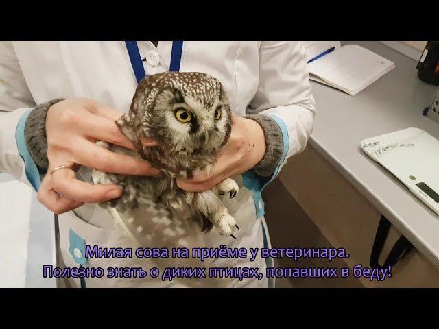 Дикий мохноногий сыч. Помощь сове. Настройки рентгена для птиц. Осмотр у ветеринара Марии Маркиной.