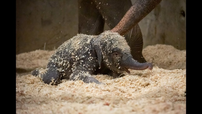 Elephant Calf's First Week