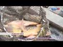 Пензенская область стала лидером в ПФО по объемам производства прудовой рыбы