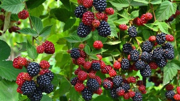 Ежевика - одна из самых урожайных ягод