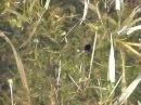 Плавунец окаймлённый Dytiscus marginalis в весеннем пруду