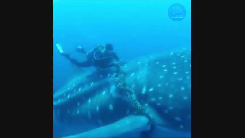 Аквалангист спасает китовую акулу