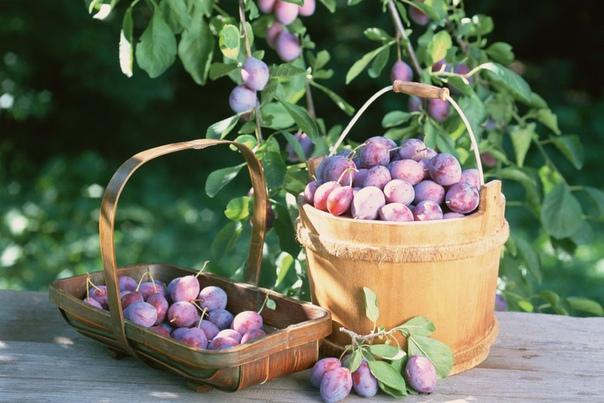 Как увеличить плодоношение слив