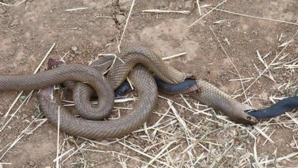 Житель Австралии обнаружил на дороге удивительную картину: одной змее удалось вы...