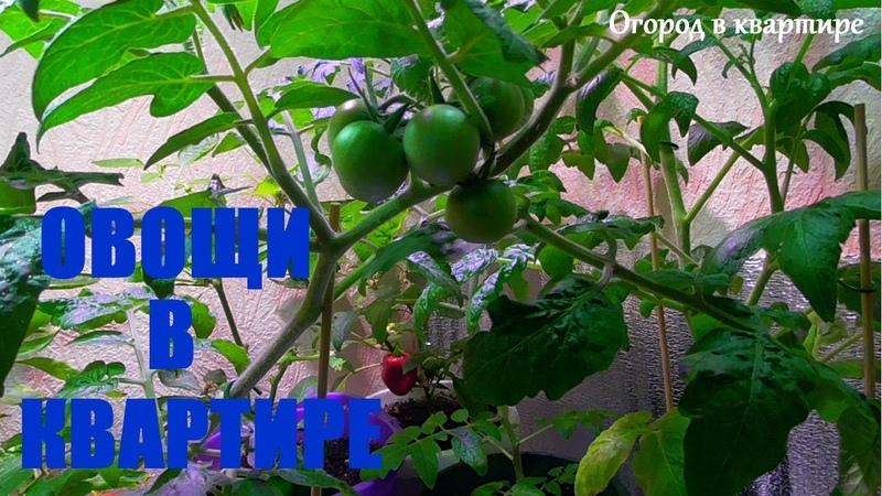 КАК ВЫРАСТИТЬ ТОМАТЫ И ПЕРЦЫ В КВАРТИРЕ ЗИМОЙ!Овощи в комнате