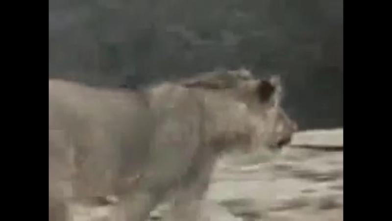 Лев встретился с хозяином спустья год