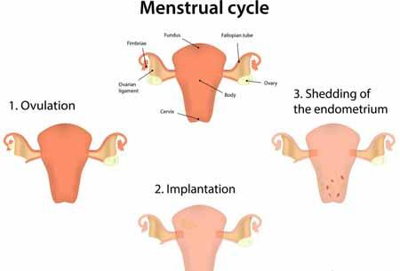 Матка растет в течение первого триместра беременности. Во время первого триместра беременности ➤