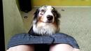 Köpekler Neden Banyoya Gidiyor ? - Açıklanamayan Garip Köpek Davranışları