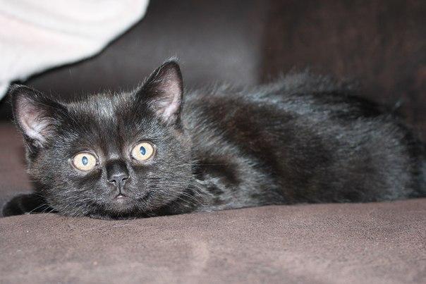 Котят шотландской породы