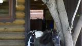 В Екатеринбургском зоопарке поселились две миниатюрные американские лошадки .