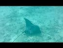 чёрный скат Индийский океан Атолл Раа Дигали Август 2018