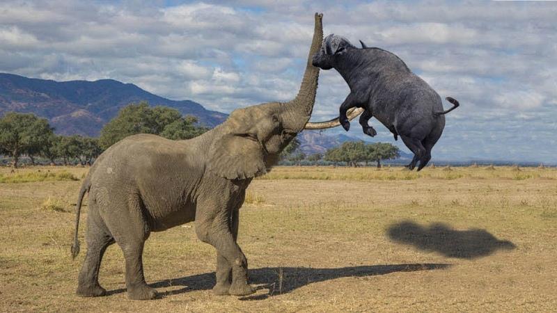 Voi điên tấn công trâu rừng Trận chiến chúa động vật thật hấp dẫn