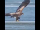 Орел-подводный охотник