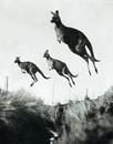 «Некоторые кенгуру способны совершать девятиметровые прыжки и могут обогнать лошадь на кор…