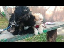 Tsvet Hibin kennel, russkaya tsvetnaya bolonka puppies